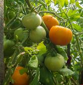 picture of greenhouse  - Tomatoes on a branch grown in the greenhouse - JPG
