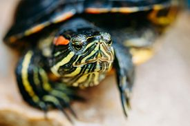 pic of terrapin turtle  - Small Red - JPG