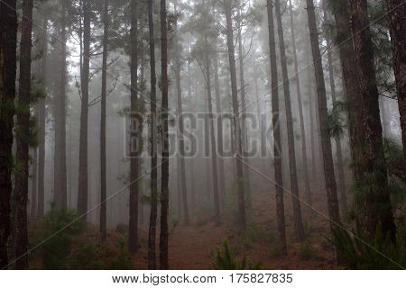 Pinus canariensis Misty