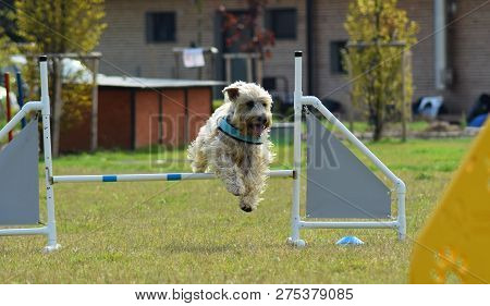 Spanish Water Dog In Agility Dogspanish