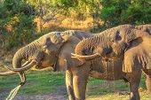 Closeup Of Two Elephants Drinking At A Waterhole In Tembe Elephant Park, Located In Kwazulu-natal, S poster