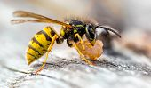 The Common Wasp (vespula Vulgaris) Is A Social Wasp That Can Form Nests As Small As A Dozen Or So In poster