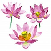 Purple Lotus. Floral Botanical Flower. Watercolor Background Illustration Set Isolated. poster