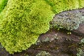 Beautiful Moss On The Rock Plant / Green Moss With Grass Close Up Moss Grows Nature poster