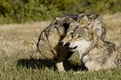 foto of north american gray wolf  - Two Gray Wolves in the woods of Montana - JPG