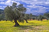 image of olive trees  - ancient olive grove in the Galilee Israel