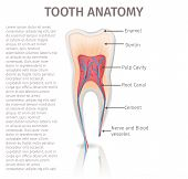 Realistic Illustration Tooth Anatomy In 3d Vector. Image Human Tooth In Section. Banner For Medical  poster