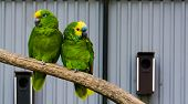 Bird Couple, Two Green Amazon Parrots Close Together On A Branch, One Yellow Crowned And One Blue Fr poster