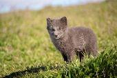 Beautiful Wild Animal In The Grass. Arctic Fox Cub, Vulpes Lagopus, Cute Animal Portrait In The Natu poster
