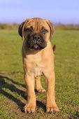 pic of bull-mastiff  - portrait of a purebred puppy Bull Mastiff in a field - JPG