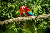 Red Parrots Grooming Each Other On Branch, Green Vegetation In Background. Red And Green Macaw In Tr poster