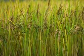 Green Rice Field. Closeup Of Green Paddy Rice Field. Royalty High-quality Free Stock Image Of Beauti poster