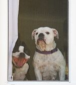 picture of spayed  - a boston terrier and a bulldog look through a screened window - JPG