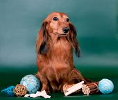 picture of long-haired dachshund  - Long haired dachshund sitting with decoration on green background - JPG