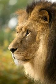 foto of lions-head  - lion - JPG