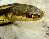 image of harmless snakes  - Closeup macro shot of a garter snake head - JPG
