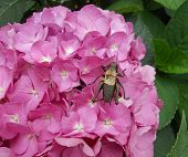 pic of cricket insect  - big insect similar to a cricket leaned over the purple hydrangea flowers - JPG