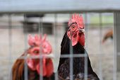 picture of fighting-rooster  - Closeup of two roosters in a cage with one rooster blurred and the other in focus - JPG