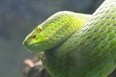 stock photo of green tree python  - Green snake perched on a branch waiting for prey - JPG