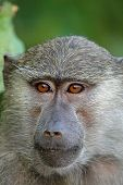 picture of anubis  - Portrait of a young olive baboon  - JPG