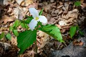 picture of trillium  - A single White Trillium growing on the forest floor - JPG