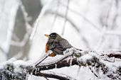 Robin In Ice Storm - Side