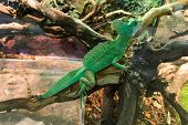 stock photo of lizards  - Basiliscus basiliscus - JPG