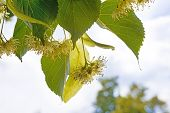 pic of lime-blossom  - detail the linden blossoms with blue sky