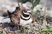 image of killdeer  - Mother Killdeer guarding her nest of eggs - JPG