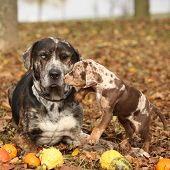 foto of catahoula  - Amazing Louisiana Catahoula dog with adorable puppy in autumn - JPG
