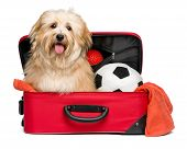 image of toy dog  - Happy reddish Bichon Havanese dog is sitting in a red traveling suitcase with his soccer ball and toys and waiting for departure  - JPG