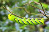 picture of larvae  - Larva of sphingidae - JPG