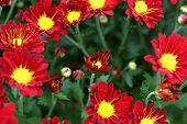 """image of chrysanthemum  - """"chrysanthemum"""" is a polysemous word, it can mean chrysanthemum (chrysanthemum asteraceae perennial herbaceous plants) - JPG"""