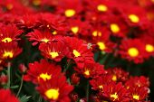 """stock photo of chrysanthemum  - """"chrysanthemum"""" is a polysemous word, it can mean chrysanthemum (chrysanthemum asteraceae perennial herbaceous plants) - JPG"""