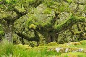 pic of epiphyte  - Moss covered Granite Boulders & Oak Trees with epiphytic mosses lichens and ferns
