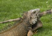 picture of guayaquil  - Green Iguana in Parque Seminario in Guayaquil Ecuador - JPG