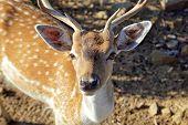 Постер, плакат: Young male sika deer