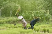 picture of backbone  - Farmers are the backbone of Thailand Rice is feed the whole country - JPG