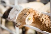 foto of sheep  - Brown Sheep and white sheep are in the farm - JPG