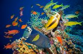 picture of fire coral  - Colorful underwater offshore rocky reef with coral and sponges and small tropical fish swimming by in a blue ocean - JPG