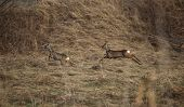 picture of deer family  - Two roe deer  - JPG
