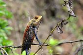 foto of chameleon  - little color chameleon sitting and watching nature - JPG