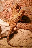 pic of terrarium  - Closeup of on a pair of reptiles in the terrarium - JPG