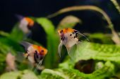 stock photo of freshwater fish  - Freshwater aquarium - JPG