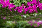 stock photo of vivid  - Vivid pink bougainvillea flowers in a garden - JPG