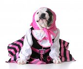 image of pirate girl  - dog dressed up like a pirate on white background  - JPG