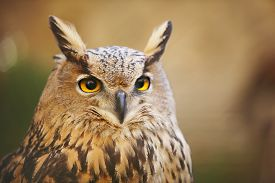 picture of owl eyes  - Owl with yellow eyes and warm background in Spain - JPG