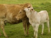 stock photo of charolais  - spring time mother love  - JPG