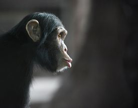 stock photo of chimp  - Chimpanzee funny face looking surprised - JPG