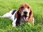 stock photo of basset hound  - jolene sneaking a carrot from the garden - JPG